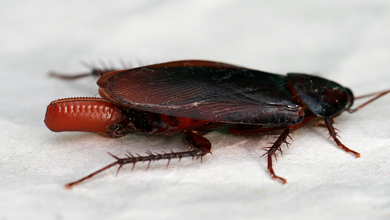 Cockroach_egglaying_2