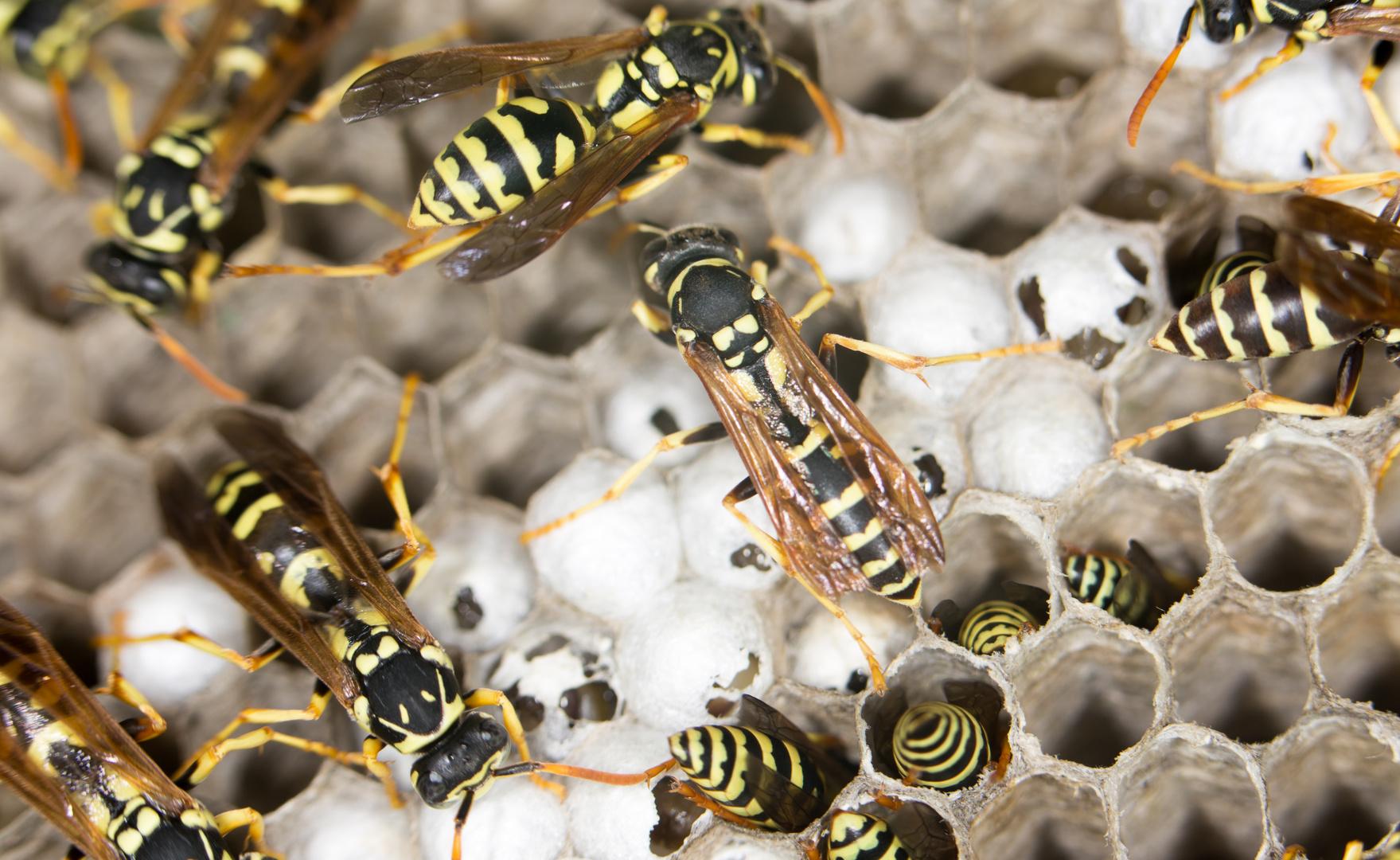 wasps. close